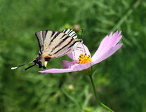 Scarce Swallowtail on flower Royalty Free Stock Image