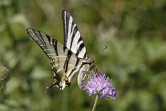 Scarce Swallowtail, Iphiclides podalirius Stock Photos