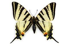 Scarce Swallowtail (Iphiclides podalirius) Stock Images