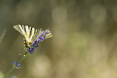 Scarce Swallowtail (Iphiclides podalirius) butterfly Royalty Free Stock Images