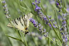 Scarce Swallowtail (Iphiclides podalirius) butterfly Royalty Free Stock Image