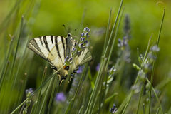 Scarce Swallowtail (Iphiclides podalirius) butterfly Stock Photos