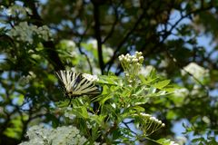 Scarce Swallowtail - Iphiclides podalirius stock photos