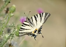 Scarce swallowtail stock photo