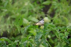 Scarce swallowtail Iphiclides podalirius rare european butterfly is sitting on the bushes of a blooming tomat stock image