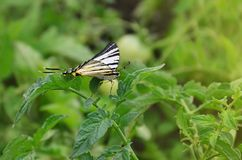 Scarce swallowtail Iphiclides podalirius rare european butterfly is sitting on the bushes of a blooming tomat royalty free stock photos