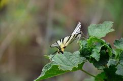 Scarce swallowtail Iphiclides podalirius rare european butterfly is sitting on the bushes of blossoming raspberrie. S stock image