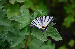 Scarce swallowtail Iphiclides podalirius rare european butterfly is sitting on the bushes of blossoming raspberrie royalty free stock photos