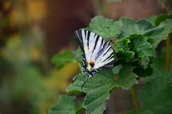Scarce swallowtail Iphiclides podalirius rare european butterfly is sitting on the bushes of blossoming raspberrie royalty free stock images