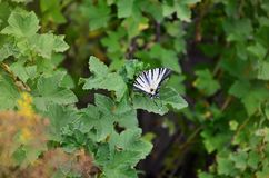 Scarce swallowtail Iphiclides podalirius rare european butterfly is sitting on the bushes of blossoming raspberrie. S Stock Photo