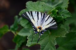 Scarce swallowtail Iphiclides podalirius rare european butterfly is sitting on the bushes of blossoming raspberrie. S royalty free stock images