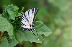 Scarce swallowtail Iphiclides podalirius rare european butterfly is sitting on the bushes of blossoming raspberrie. S royalty free stock photography