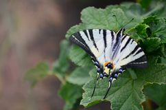 Scarce swallowtail Iphiclides podalirius rare european butterfly is sitting on the bushes of blossoming raspberrie. S Royalty Free Stock Photo