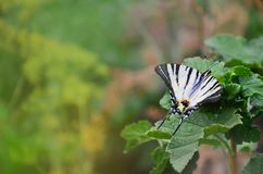 Scarce swallowtail Iphiclides podalirius rare european butterfly is sitting on the bushes of blossoming raspberrie. S Stock Photography