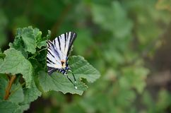 Scarce swallowtail Iphiclides podalirius rare european butterfly is sitting on the bushes of blossoming raspberrie royalty free stock photo