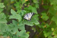 Scarce swallowtail Iphiclides podalirius rare european butterfly is sitting on the bushes of blossoming raspberrie royalty free stock image