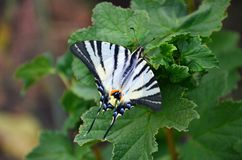 Scarce swallowtail Iphiclides podalirius rare european butterfly is sitting on the bushes of blossoming raspberrie. S stock photos