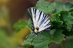 Scarce swallowtail Iphiclides podalirius rare european butterfly is sitting on the bushes of blossoming raspberrie stock image