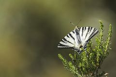 Scarce swallowtail, Iphiclides podalirius royalty free stock image