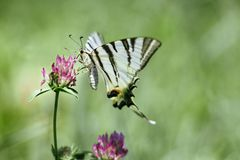 Scarce swallowtail rare european butterfly is sitting on the flo stock image