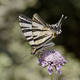Scarce swallowtail, Sail swallowtail from Europe Royalty Free Stock Images