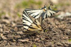 Scarce Swallowtail Royalty Free Stock Image