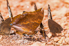 Scarce Tawny Rajah butterfly Stock Photography