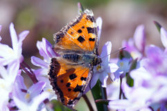 Scarce tortoiseshell butterfly. First feeding of the butterfly after awakening. the wings are not ready for normal flight yet Royalty Free Stock Photo