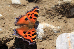 Scarce tortoiseshell butterfly Stock Photography