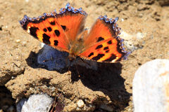 Scarce tortoiseshell butterfly Royalty Free Stock Images