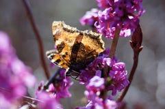 Scarce tortoiseshell butterfly. Scarce tortoiseshell butterfly (nymphalis xanthomelas) on a mezereon (daphne mezereum Stock Photos