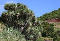 Scarcely Dragon trees (Dracaena), Canary Islands Royalty Free Stock Photography
