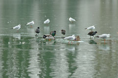 Scarcity of food. Birds on a frozen lake Stock Images