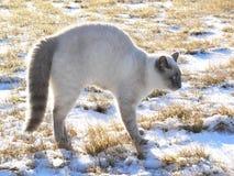 scardy由后面照的猫 库存照片