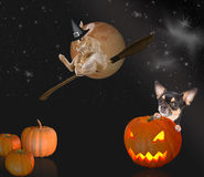 Scare chihuahua dog after pumpkin with witch rabbit halloween Stock Photos