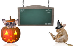 Scare cute chihuahua dog and bunny rabit halloween board white Stock Photo