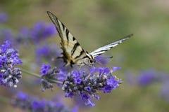 Scare Swallowtail Iphidides podalirius Butterfly. Closeup image of a Scarce Swallowtail Iphidides podalirius Butterfly stock photography