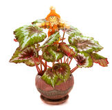 Scarecrow and begonia. Scarecrow guarding begonia in a pot Royalty Free Stock Images