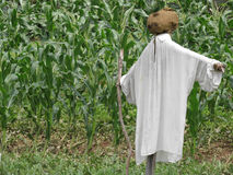 Scarecrow in a cornfield. Royalty Free Stock Photo