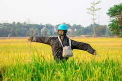 The scarecrow. Farmers do scarecrow on center field for the eviction Stock Image