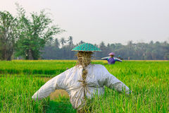 The scarecrow. Farmers do scarecrow on center field for the eviction Royalty Free Stock Photo