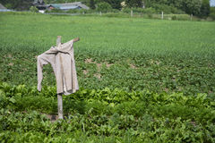 Scarecrow in the field. Scarecrow in the green field Stock Images