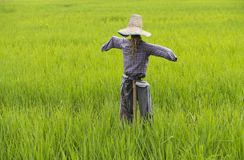 Scarecrow of field rice Royalty Free Stock Photo