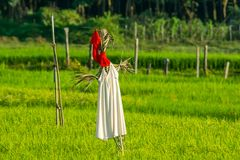 SCARECROW IN GREEN JASMINE RICE FIELD Royalty Free Stock Photography