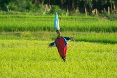 SCARECROW IN GREEN JASMINE RICE FIELD Royalty Free Stock Images