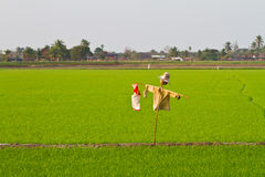 Scarecrow in the green rice field Royalty Free Stock Photos