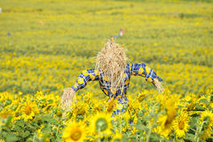 Scarecrow guarding sunflower fields royalty free stock images