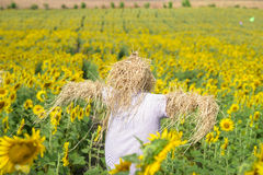 Scarecrow guarding sunflower fields Royalty Free Stock Photography