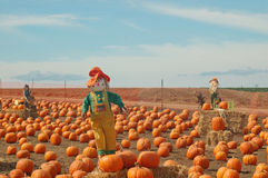 Scarecrow In A Pumkin Patch Stock Photography