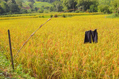 Scarecrow  old pants on rice farm Royalty Free Stock Images